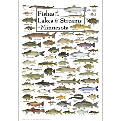Amazoncom Poster Fishes Of Minnesota Lakes Streams Posters