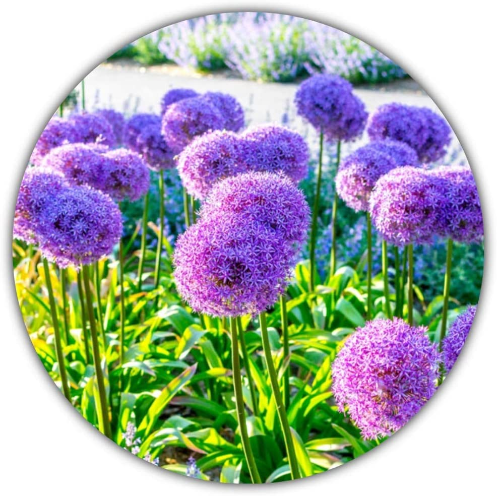 Ajo de flor gigante/Ajo gigante (Allium giganteum) / Aprox. 50 semillas / 80 a 150 cm de altura/invernal/plurianual: Amazon.es: Hogar