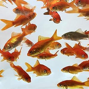 Toledo Goldfish Live Comet Common Feeder Goldfish for Ponds, Aquariums or Tanks – USA Born and Raised – Live Arrival Guarantee