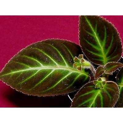 Gloxinella Lindeniana Gesneriad Episcia Terrarium Plant Gloxinia : Garden & Outdoor