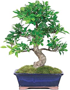 Brussel's Bonsai CT3004GGF indoor bonsai, Large, Golden Gate Ficus