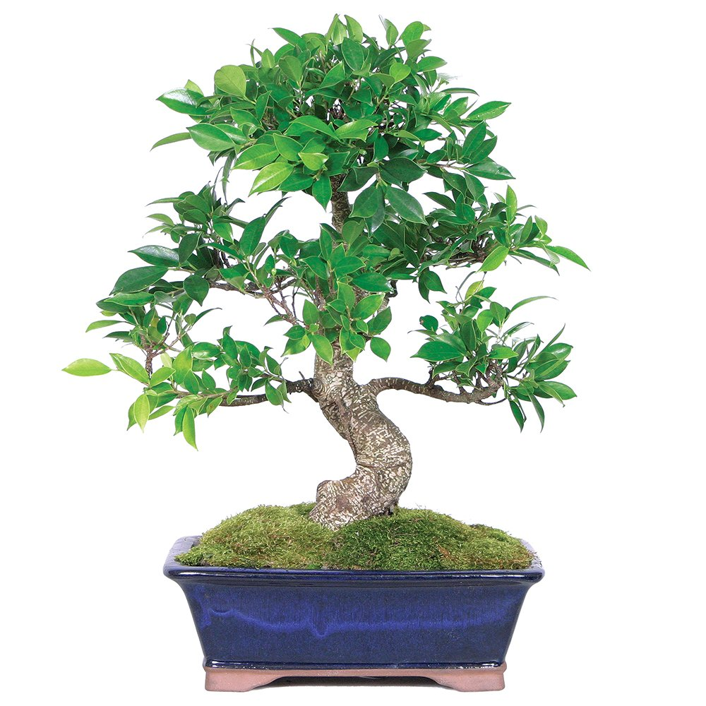 Brussels Live Golden Gate Ficus Indoor Bonsai Tree 10 Wiring Video Years Old 14 To 18 Tall With Decorative Container Garden Outdoor