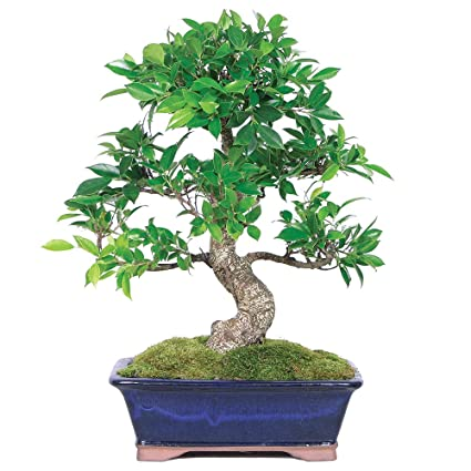 amazon com brussel s live golden gate ficus indoor bonsai tree 10 rh amazon com