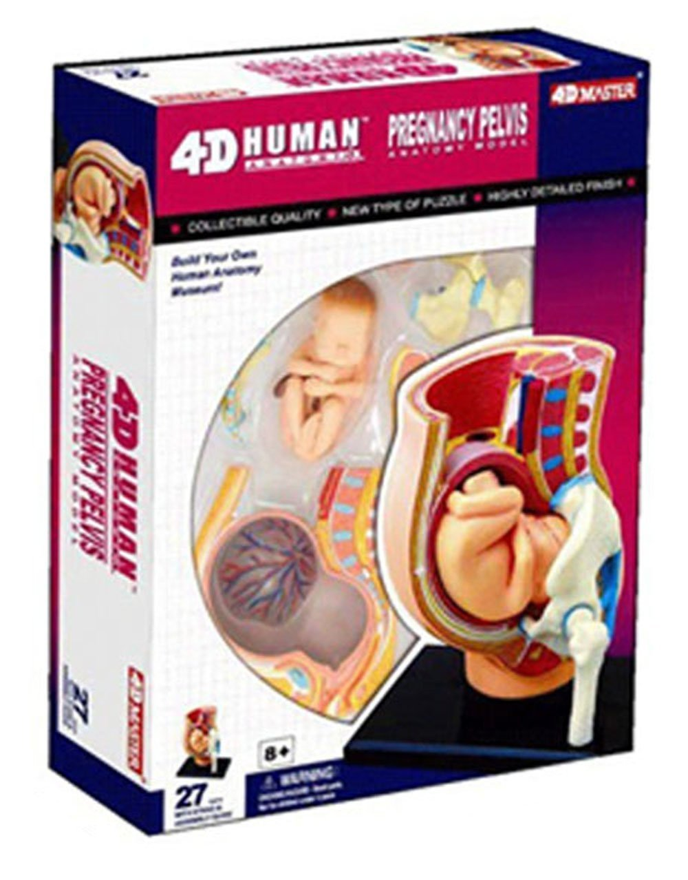 Amazon.com: 4D Vision Human Anatomy - Pregnancy Anatomical Model ...