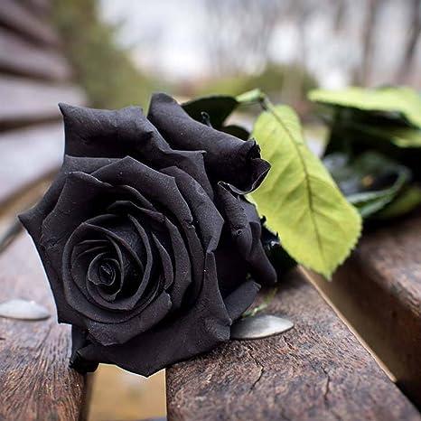 Ncient 50 Semi Sementi Di Rosa Nera Fiori Rari Semi Profumati Fiori