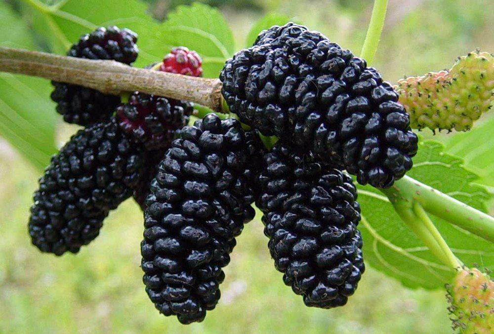 Dwarf Everbearing Mulberry Plant - Morus nigra - Sweet Fruit - 4'' Pot