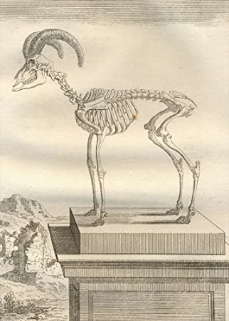 Wild oveja muflón de anatomía Vintage por Georges-Louis Leclerc ...