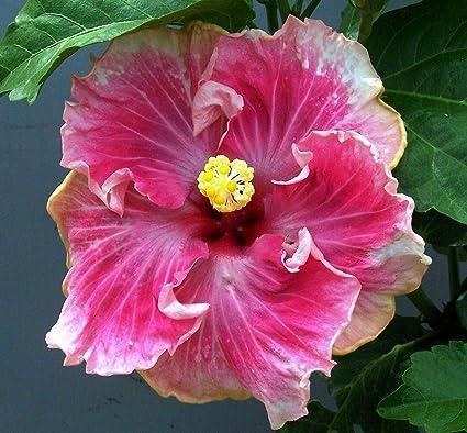Amazoncom 1 Pink Lipstick Hardy Hibiscus Live Plants Beauty Fresh