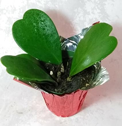 Amazoncom Hoya Kerrii Sweetheart Plant 4 Cover Pot Plant Live