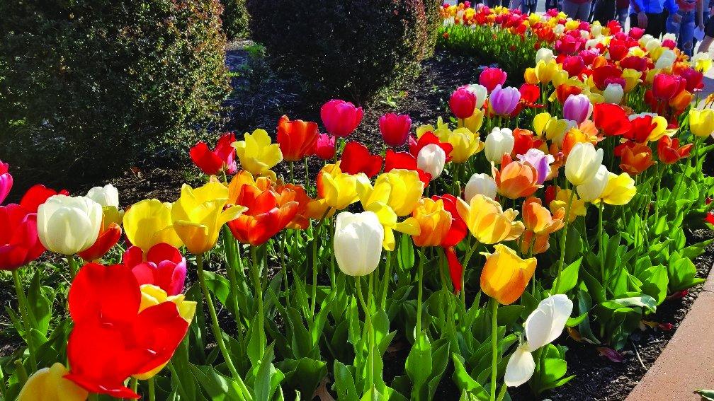 Burpee's Perennial Tulip Mix - 20 Flower Bulbs | Multiple Colors | 12 - 14cm Diameter by Burpee