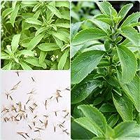 SHOP 360 GARDEN Stevia Rebaudiana, Candyleaf, Sweetleaf, Sweet leaf, Sugarleaf, Sweet tulsi, Seeni Tulasi Herb Seeds For Growing - Pack of 150 Seeds