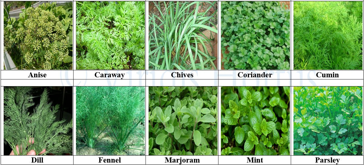 Mint /& Parsley Viridis Hortus -10 Pack Herb Collection Seeds Cumin Chives Fennel Marjoram Caraway Coriander Dill Anise