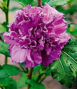 Baldur Garten Freiland Hibiskusfrench Cabaret Purple 1 Pflanze
