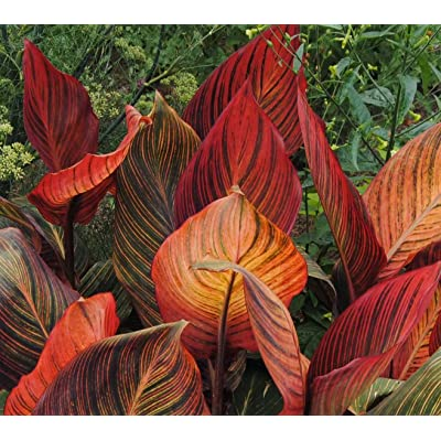 Red Futurity Flowering Dwarf Canna Lily Root/bulb/rhizome/plant Nice Size : Garden & Outdoor