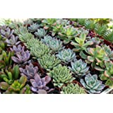 Amazon.com : 128 Beautiful Succulent Wedding Favors by Shop ...