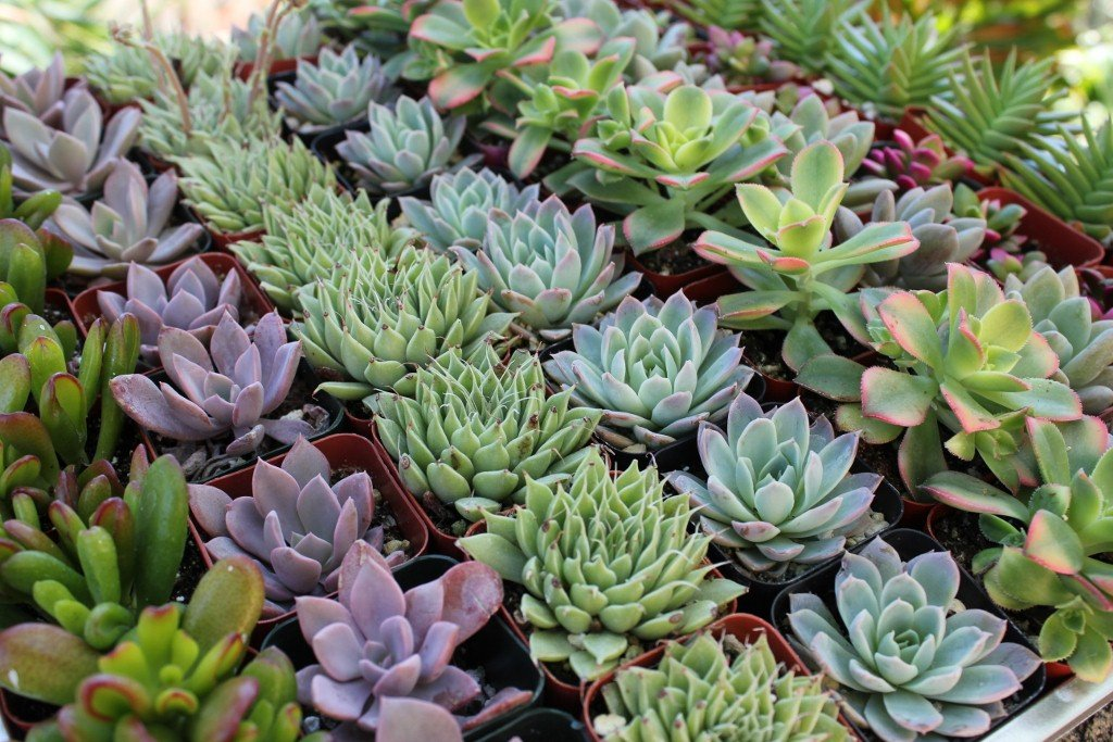 Shop Succulents | Premium Pastel Collection of Live Succulent Plants, Hand Selected Variety Pack of Mini Succulents | Collection of 20 by Shop Succulents