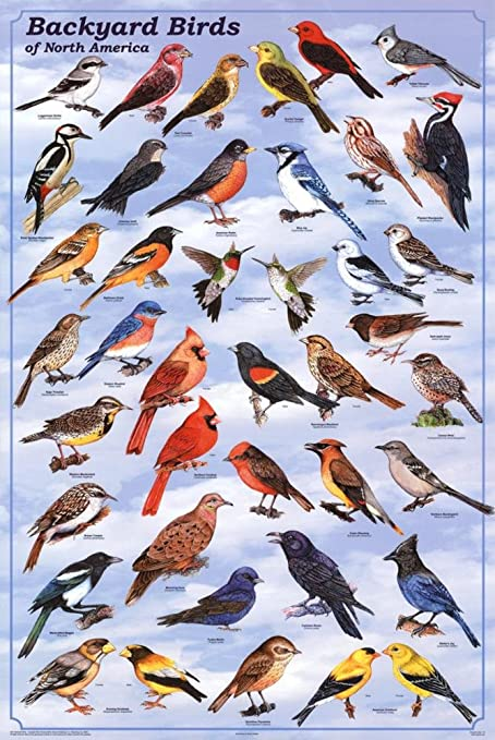 Laminated Backyard Birds Educational Science Chart Poster Laminated Poster  24 x 36in - Amazon.com: Laminated Backyard Birds Educational Science Chart