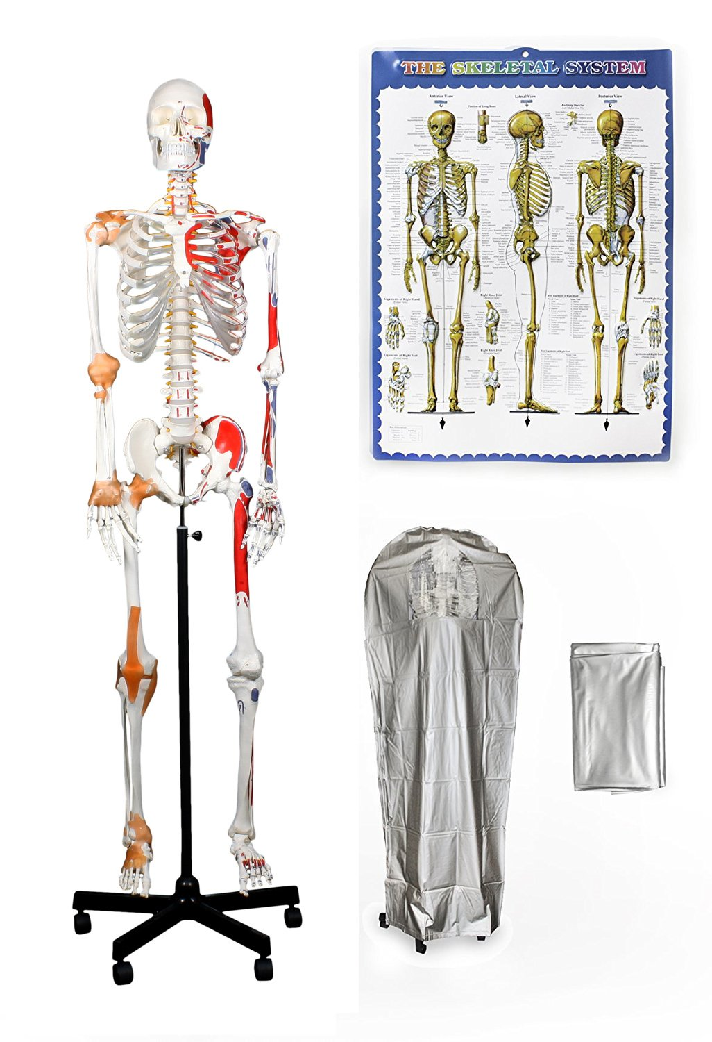 """Vision Scientific VAS215-DC Full Size, All-In-One, Human Skeleton with Muscles & Ligaments, 67"""" (170cm) – Includes a Thick Zip-Up Dust Cover and a Colored Skeleton Diagram"""