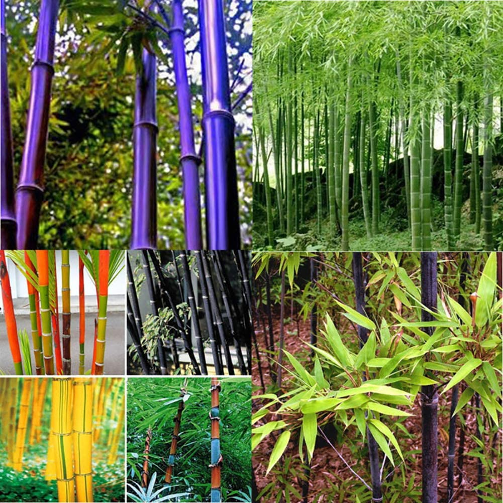 100Pcs Black Green Phyllostachys Pubescens Moso-Bamboo Seeds Garden Plants easy