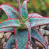 Ncient 50 Unids Semillas Suculenta Echeveria Semillas Flores Raras de Plantas Bonsai para Maceta Jardín Balcon Interior…