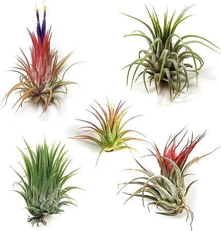 Amazon Com Small Air Plants Tillandsia Ionantha 5 Air Plants