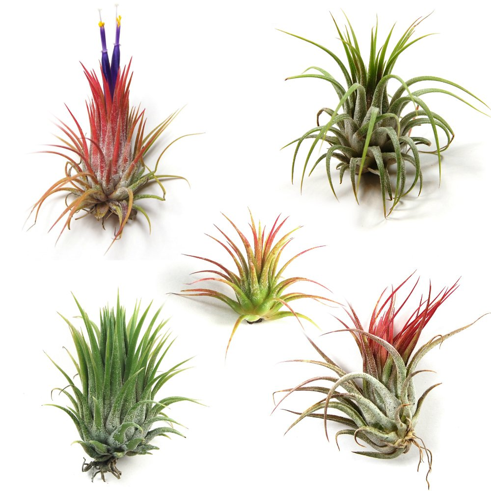 Wholesale Air Plants - One Dozen Tillandsia Ionantha - 12 Air Plants at a Great Price! Free Shipping for Air Plant Shop orders over $45 - Beautiful when they bloom! by The Air Plant Shop