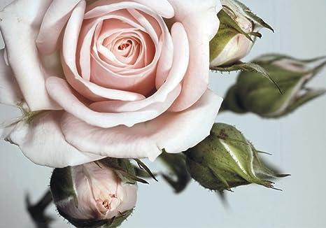 Carta Da Parati Fiori Rosa : Carta da parati carta da parati fiori grandi rose in rosa floreale