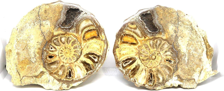 암모나이트 ACANTHOCERAS 분할 광택 화석 텍사스 96MYO W | 라벨 16217 22O