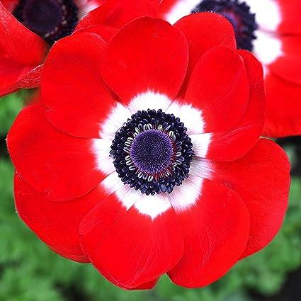 Amazon Com 10 Red Anemone Bulbs Perennial Flowering Plants Spring