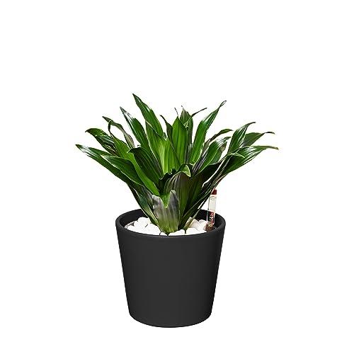 Drachenbaum zimmerpflanze for Drachenbaum zimmerpflanze