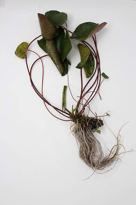 Chalily Aquatic Bare Root Water Lily | N. Virganilis | White