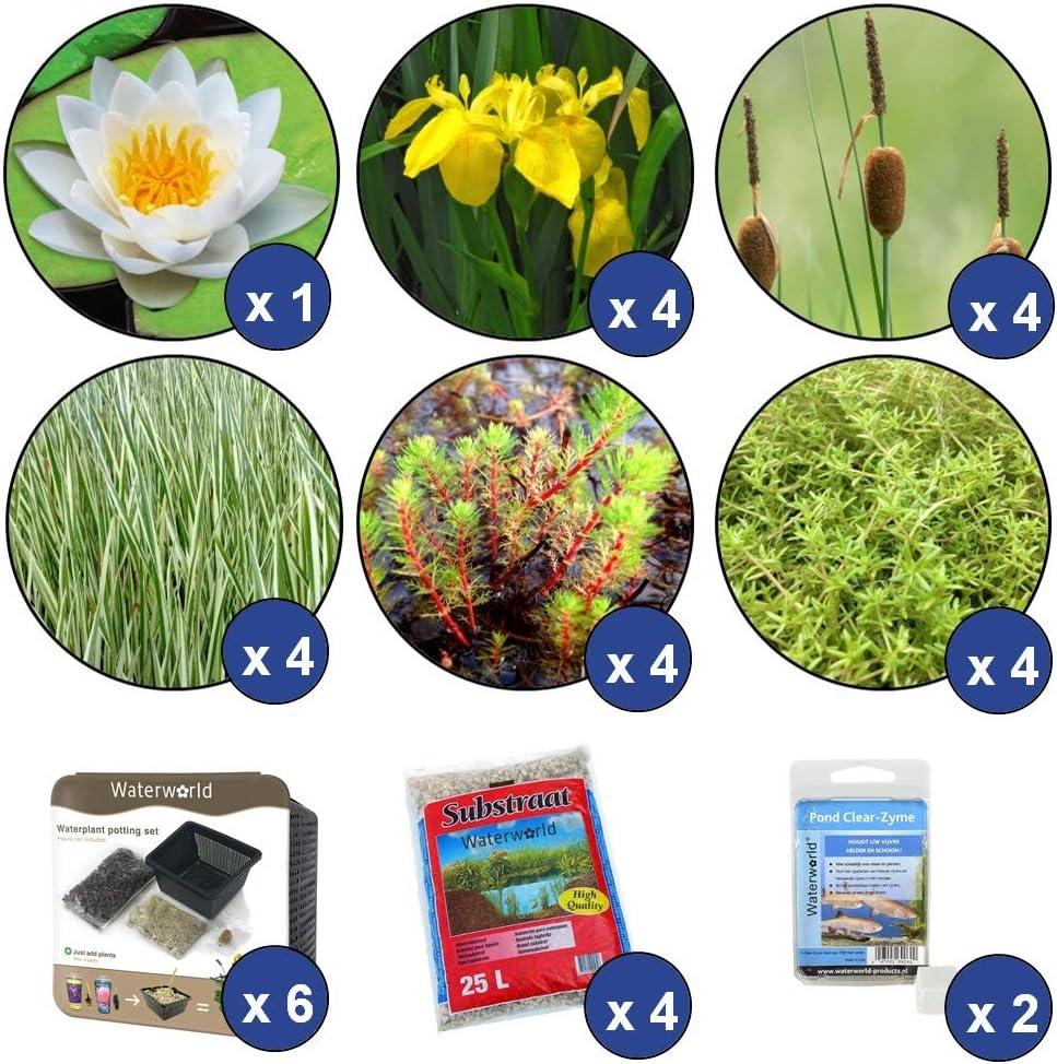 8 Sauerstoff Pflanzen 1 Seerose 21er Set Wasserpflanzen 12 Sumpfpflanzen Inklusive Pflanzkorb Sets Waterworld Starter Teichpflanzen Paket Kleiner Teich Winterhart f/ür 2 m/³ Wasser