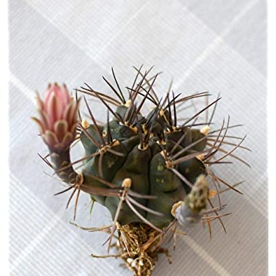 Succulent and Cactus, Gymnocalycium delaetii v. longispinum hybrids, Combine Ship : Garden & Outdoor