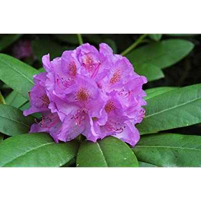 Rhododendron Catawbiense Grandiflorum #7 Container Size Plant - Purple Blooms with Orange Blotch : Garden & Outdoor