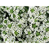1000 White Sweet Alyssum Carpet of Snow Flower Seeds