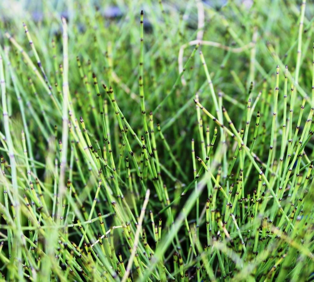 Wasserpflanzen Wolff - Equisetum scirpoides - winterhart - Zwergschachtelhalm - Grönlandschachtelhalm - Zinnkraut