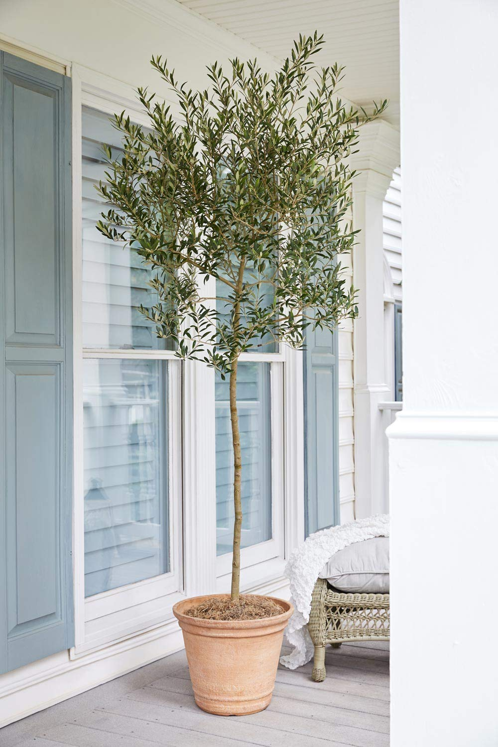 Arbequina Olive Tree 5-6 feet Tall - Get Olives 1st Year with Large Olive Trees - Indoor/Patio Live Olive Trees by Brighter Blooms (Image #3)