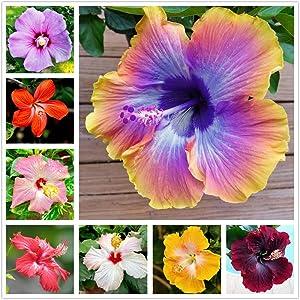 100 pcs Mix Color Hibiscus Luna Flower Seed Perennial Flower Plant ,Yard Decor,Garden Gift