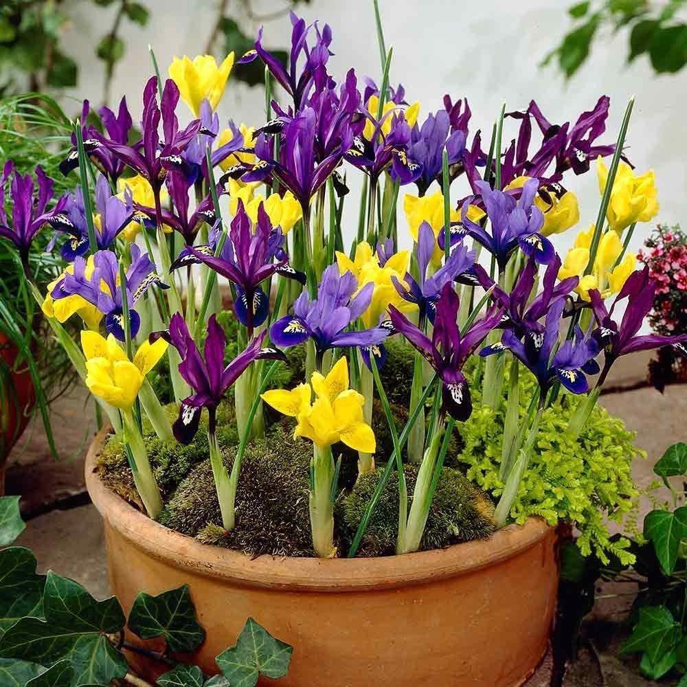 Portal Cool 25: Bolly Bulbs enano color mixto, Iris Bulbos Reticulata, muy fácil de cultivar