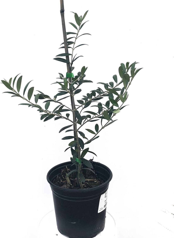Amazon.com: Árbol de olivo, Arbequina - Planta en vivo +!: ...