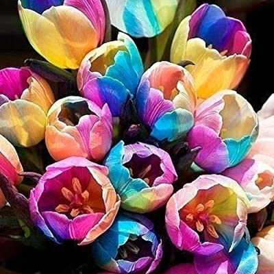 Rose Iris Tectorum Sunflower Cobaea Scandens Seed, 5 Pcs Rare Rainbow Tulip Bulbs Seeds Beautiful Flower Seed Home Garden Plant : Garden & Outdoor