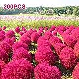 100Pcs Kochia Scoparia Ornamental Plant Flower Seeds Garden Yard Bonsai
