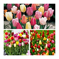 Humphreys Garden Triumph Tulip Tulipe Mixte x 50 bulbs Bulbes