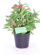 pianta di Euphorbia milii (Spina di Cristo) v14 fiore rosso fiore da esterno fiore da balcone fiore da giardino