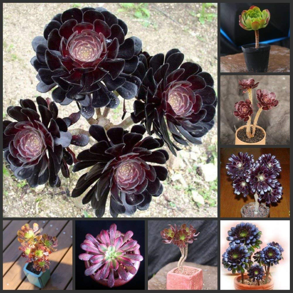 16 Pinkdose 50PCS Fresh Real Aeonium  Zwartkop sementes Bonsai Succulent Plant sementes Heifashi