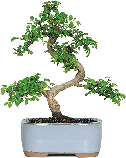 Amazon Com Brussel S Live Chinese Elm Outdoor Bonsai Tree 5 Years Old 6 To 8 Tall With Decorative Container Garden Outdoor