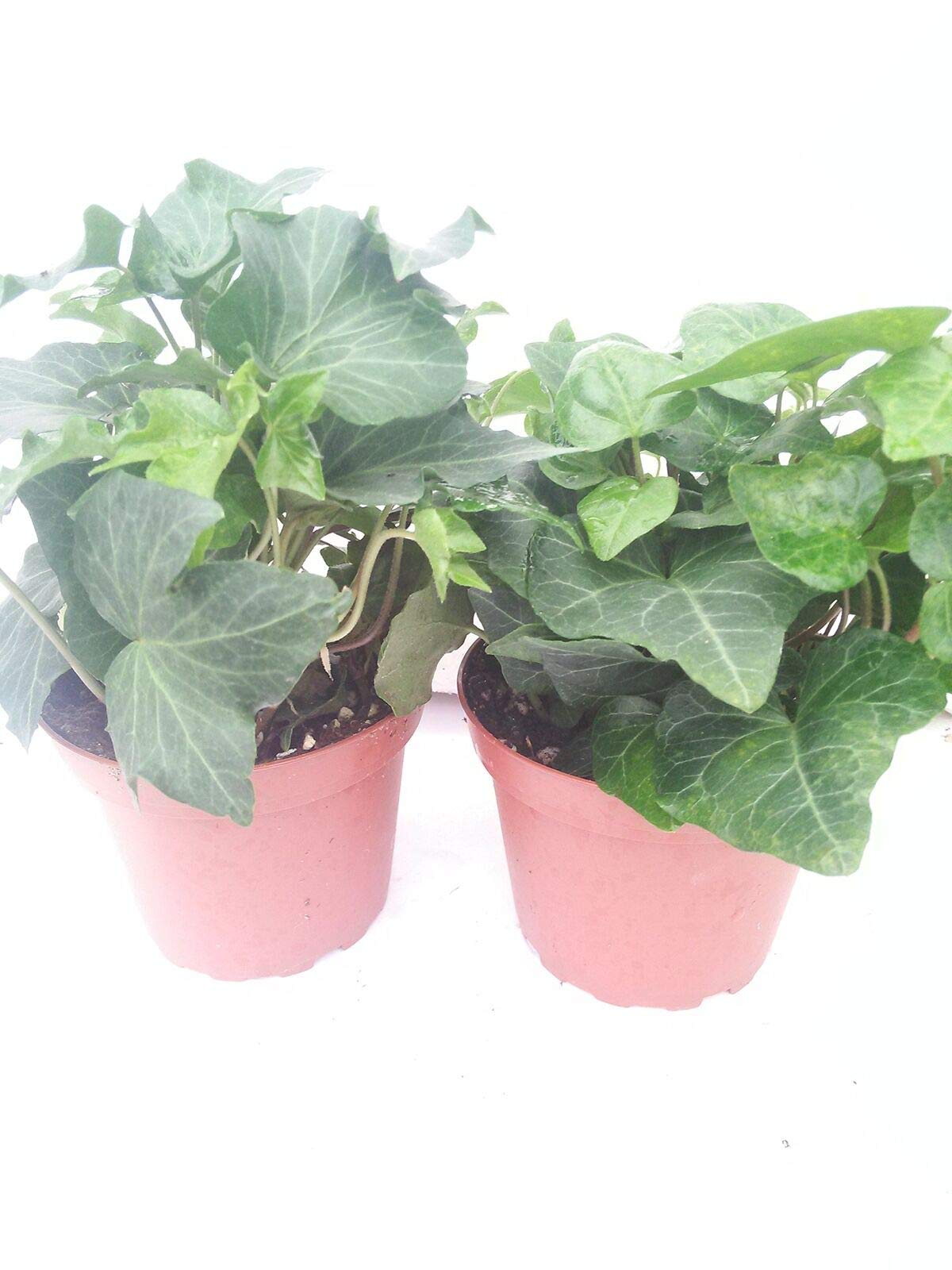 Two Ivy Plants Baltic English Hardy Groundcover 4''Pot Plant Hedera Helix Outdoor