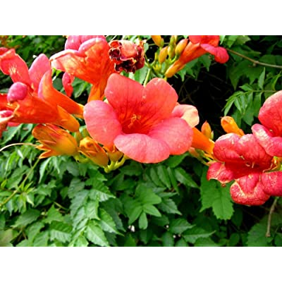 Campsis Grandiflora Chinese Trumpet Vine Deciduous Creeper Climbing 100 Seeds : Garden & Outdoor