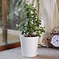 Ugaoo Good Luck Jade Plant With Self Watering Pot
