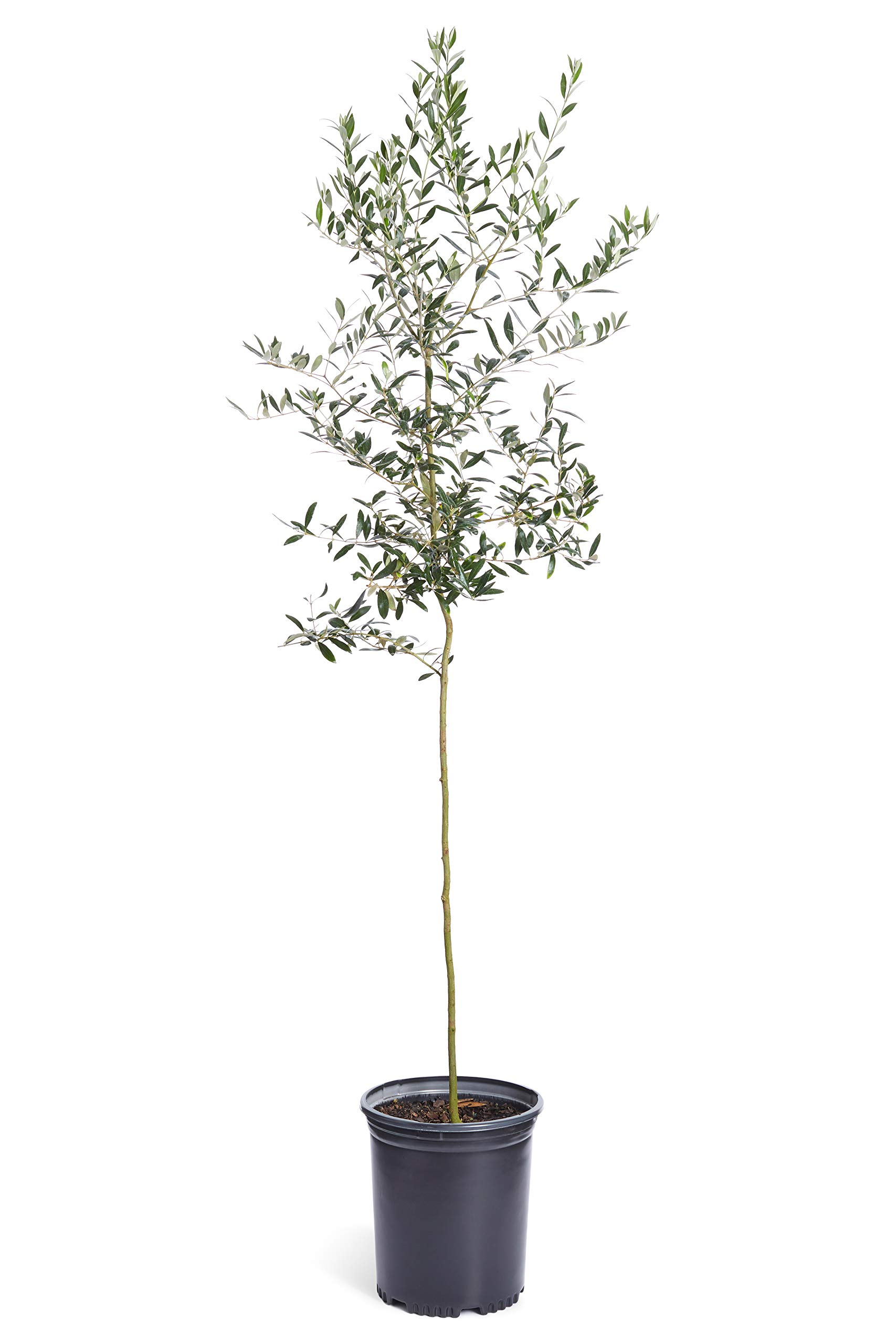 Arbequina Olive Tree 1-2 feet Tall - Get Olives 1st Year with Large Olive Trees - Indoor/Patio Live Olive Trees | No Shipping to AZ